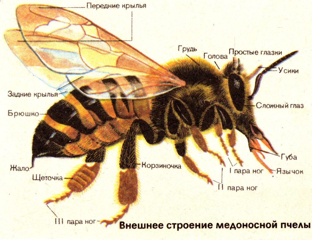 Внешнее строение медоносной пчелы