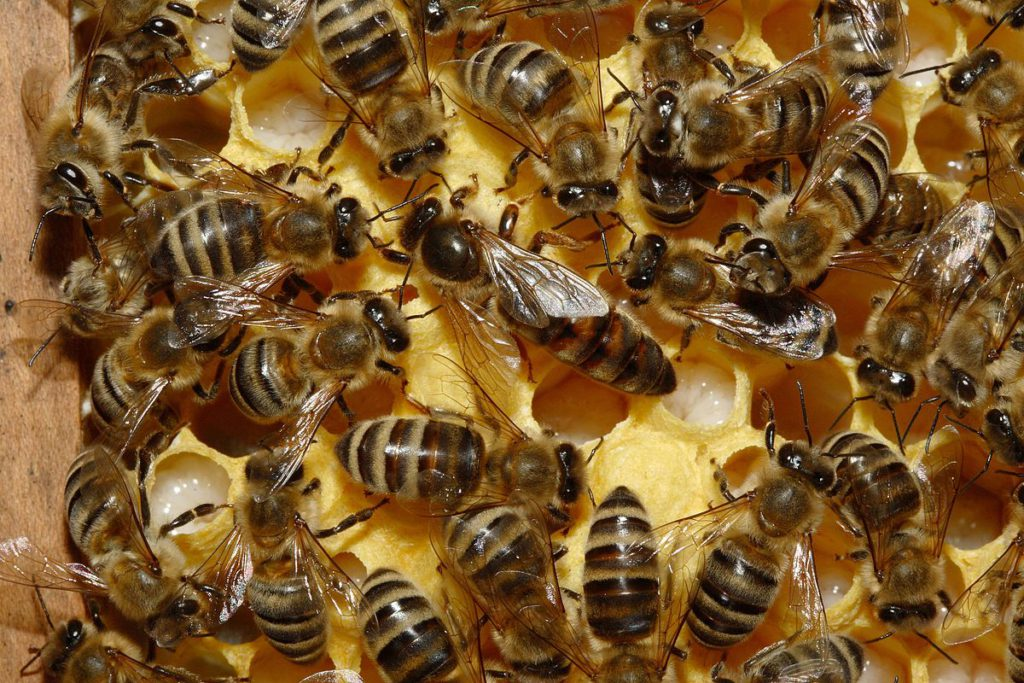 Сколько времени живет рабочая пчела, пчелиная матка и трутень в природе и в улье?