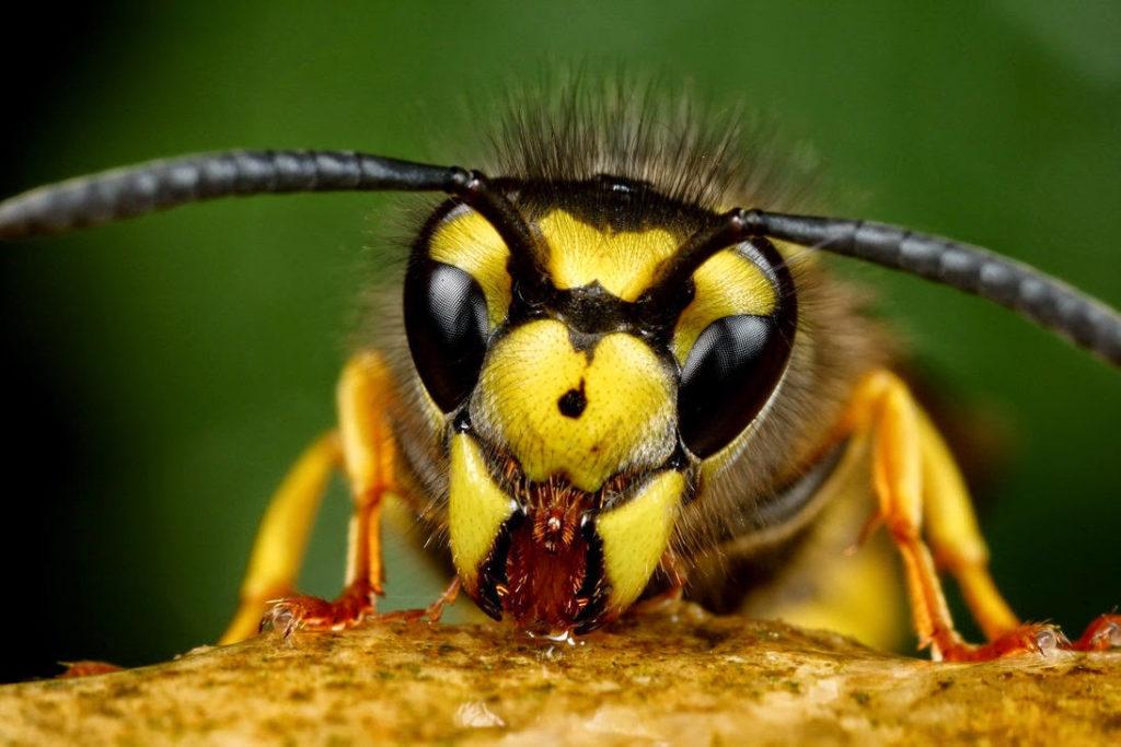 К чему могут сниться пчелы и осы: каковы толкования снов по разным сонникам, стоит ли бояться плохих событий?