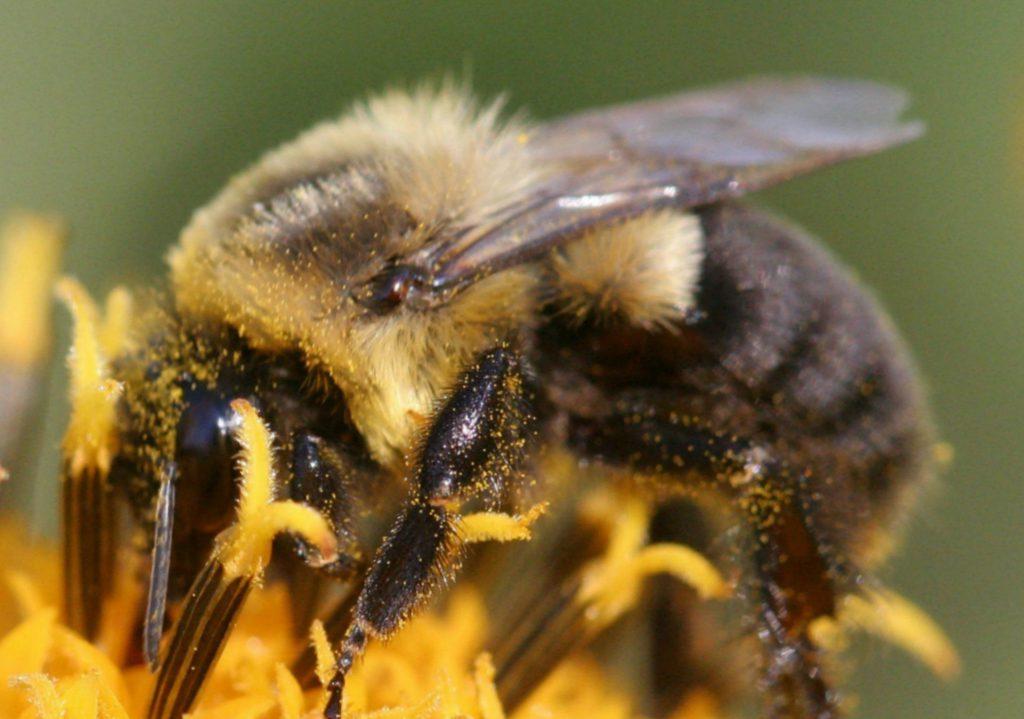 Наука о насекомых из семейства настоящих пчел: как она называется, каковы особенности пчелиных?