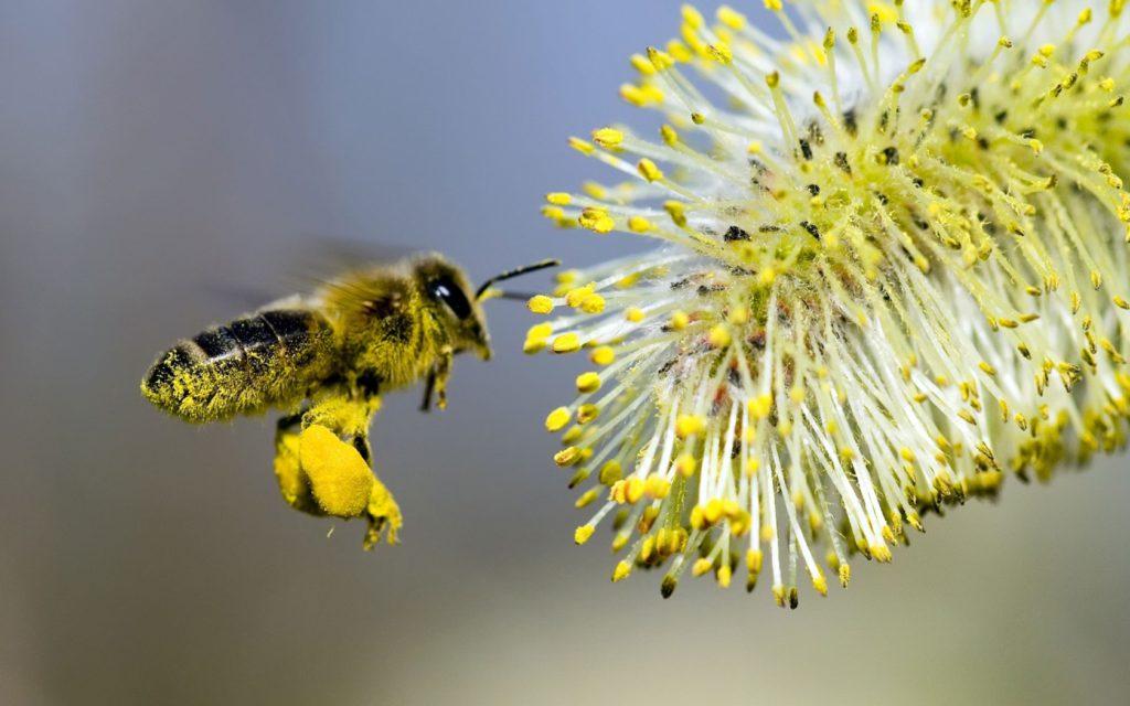 Полезные и лечебные свойства пчелиной пыльцы, способы применения и противопоказания