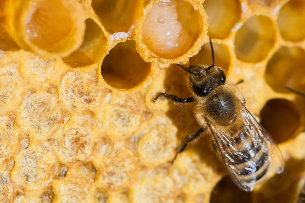 Какова роль пчелиной матки в улье, как она выглядит на фото и чем отличается от других пчел?
