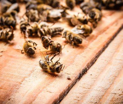 Описание пчелиного подмора: состав, лечебные свойства, применение и противопоказания