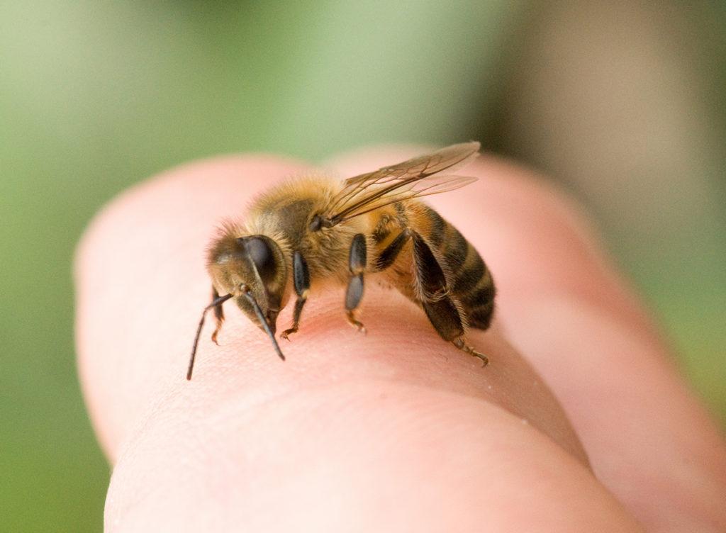 Все о жалящих пчелах: почему насекомые жалят, где находится и как выглядит их жало и что происходит после укуса?