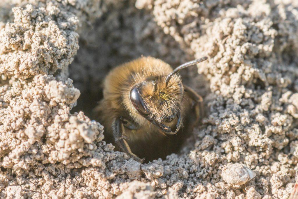 Описание и внешний вид земляных пчел с фото, способы от них избавиться